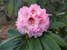 Rhododendron calophytum flowering now!