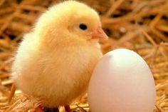 Todo empieza de pequeño...  Con Huevos de Mixco puedes iniciar tu propio negocio vendiendo huevos desde tu casa. Pregúntanos, estamos para servirte: info@huevosdemixco.com o llama al Tel. 24931313. Consulta los días de entrega en tu zona.