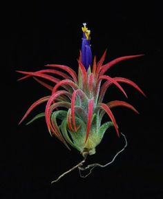 Plant Oddities-Tillandsia ionantha-Mexican Form     Another new addition to my obsession collection!