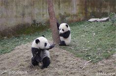 大熊猫给小伙伴按摩一幕,萌化外国网友(组图)   www.wenxuecity.com