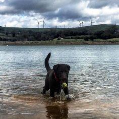 Wet playtime. #water #bracken #chocolatelabrador #carsingtonwater #talesofalab…