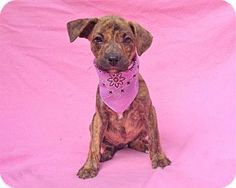 Burbank, CA - Labrador Retriever Mix. Meet Rhonda, a puppy for adoption. http://www.adoptapet.com/pet/16668915-burbank-california-labrador-retriever-mix