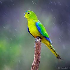 This is the Orange Bellied Parrot (OBP). On the brink of extinction (with an estimated 20 remaining in the wild), this incredible bird has been ranked as one of the world's rarest and most endangered species. It is a migratory bird, which breeds only in coastal south-west @tasmania and spends the winter in coastal Victoria and @southaustralia. The OBPs migrate following the breeding season, and if you're very lucky 🤞 , may be seen along the NW Coast and King Island. Thank you @cordell97… Kings Island, Migratory Birds, Endangered Species, Tasmania, Parrot, Coastal, Wildlife, Victoria, The Incredibles