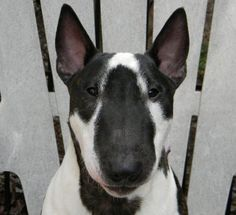Bull Terrier - What a beautiful face!