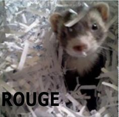 Rouge playing in shredded paper
