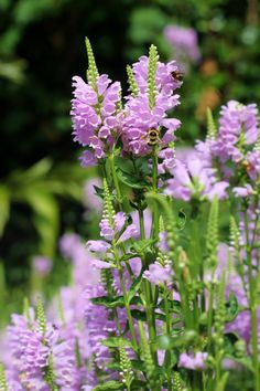 Purple Obedient plant