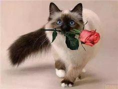Fotos e vídeos de Caroline ♋ ( Pretty Cats, Beautiful Cats, Cute Cats, Funny Cats, Cat Lover Gifts, Cat Lovers, Ragamuffin Cat, Cat Empire, Baby Animals
