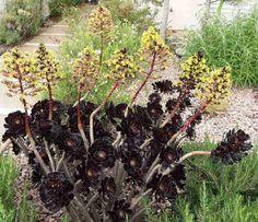 """Lovely Black Jade, Aeonium Purpureum Shwarzkope in flower"""