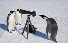 penguins say cheese - love this collection of pictures of animals with cameras