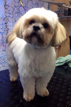 Lhasa looking amazingly cute after his groom