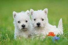 Adorable snowballs!!!! West Highland White Terrier puppies....