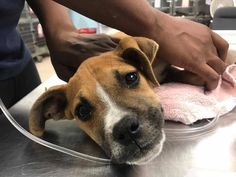 On Friday afternoon, just hours before families made their final preparations to celebrate the holiday weekend, Rescue Dogs Rock NYC received an urgent call from a rural Georgia shelter pleading for help for a three-month-old puppy in critical condition just brought in by Animal Control after having been hit by a car. Who can even …