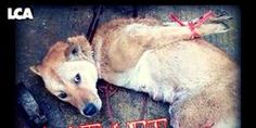 Dogs often have legs broken so they can be held & transported in easy to store bundles. STOP BUKNAL KOREAN DOG MEAT