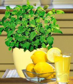 Limonaden-Minze
