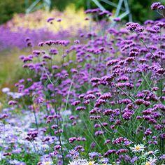 verbena bonariensis: heard this self seeds aggressively, wish that were true in my garden, love it