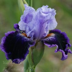 Tall Bearded iris Hybridiser - Sue Stribley Year Registered or introduced - 2007 Height - inches) Bloom Time - EM (Early Midseason) Showy, fragrant flowers Parentage: Fancy Dress x Gracious Curves Iris Flowers, Types Of Flowers, Purple Flowers, Winter Flowers, Seasonal Flowers, Flower Garden Plans, Lavender Bouquet, Flower Names, Purple Iris
