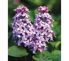 Syringa lilac has an intoxicating scent. I have many lilac shrubs in front of my home and just love to walk past them when they are in bloom and be enveloped in their perfume. Lilac Flowers, Purple Lilac, Spring Flowers, Beautiful Flowers, Trees And Shrubs, Trees To Plant, Flowering Trees, Dwarf Lilac, Lilac Plant