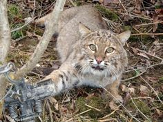 500 more Bobcats are about to be Killed for their Fur! For animal people. Pass it on.