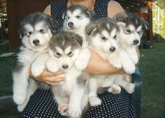 A bunch of Alaskan Malamute puppies..aaaaaahhhhhh! The cuteness! Had two malamutes (one was a malamute/wolf hybrid) when I was a kid..... most amazing dogs!