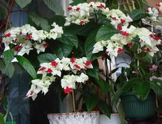 Clerodendrum thomsoniae is an evergreen liana growing to feet) tall, native to tropical west Africa from Cameroon west to Senegal. Houseplants, Beautiful Flowers, The Creator, Floral Wreath, Tropical, Garden, Youtube, Gardening, Flowers