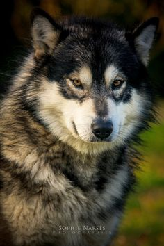 Given the markings on this wolf I think this is a.hybrid. Mix of husky and wolf, beautiful animal