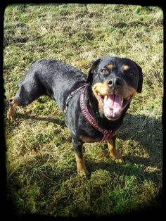 """""""Two out of three Rottweilers prefer sun instead of rain"""" says Snuppa"""