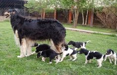 Borzoi with its puppies. #borzoi #dogs #Russian