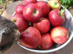 Harvesting Our Apples by The Herban Gardener on @BonbonBreak