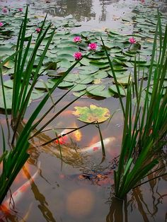 Koi fish ~ the swimming flowers of the pond.