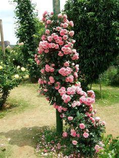 Розы в саду и вокруг дома: красивые идеи: alionushka1