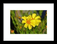 Daisy Framed Print featuring the photograph Crown Daisies by Cynthia Guinn