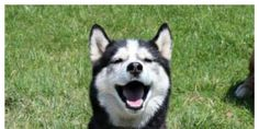 Ryu was a beloved, 6-year-old Husky who was found dead and mutilated on his family's gate. Please help them find justice! (56043 signatures on petition)