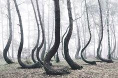 Located in West Pomerania, Poland, the Crooked Forest is a strand of about four hundred pine trees that are oddly bent at ninety-degree angles. Although it has been theorized that the trees were shaped by human hands around the 1930s, this theory is still widely disputed, and it is ultimately unknown who or what created this phenomenon.