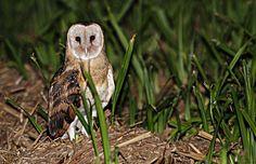 Eastern Grass Owl Tyto longimembris - Google Search