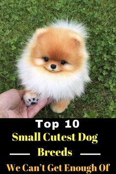 Top 10 Cutest Dog Breeds — Small Cutest Dogs We Can't Get Enough Of - Best of Dogs and Cats Lovers - Hunde Cutest Small Dog Breeds, Best Small Dogs, Cute Small Dogs, Cute Puppy Breeds, Small Puppies, Cute Dogs And Puppies, Baby Puppies, Cutest Dogs, Puppies Tips