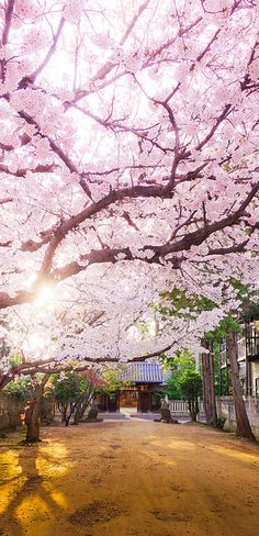 Cherry tree in full bloom, Japan
