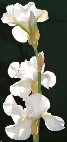 Iris, my mother's flower