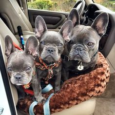 Blue frenchies