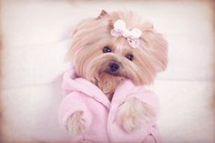 Yorkie dog in pink robe at pet grooming salon spa stock photo