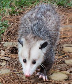 Meet Barley the Opossum. Opossums have been around since the time of the dinosaurs & make up the largest order of marsupials in the Western Hemisphere, including 103 or more species in 19 genera. Possums are unusually resistant to the venom of venomous snakes and are extremely unlikely to acquire rabies. They have 50 very sharp teeth, more than any land mammal