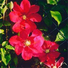 Clématite ´Sunset´ - La floraison printanière de cette clématite à grandes fleurs rouge foncé est particulièrement exubérante.   Diamètre de la fleur : 12 à 16 cm  !!