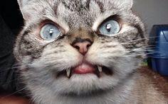#Loki : le chat qui ressemble à un vampire ! #cat #Bebuzz