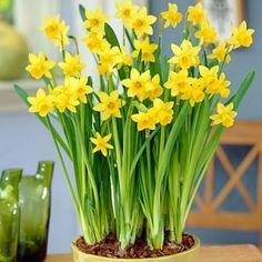 Miniature Daffodils (Narcissus Tete a Tete)