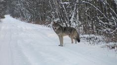 Wolf in the winter in Big River Festivals In July, Wilderness, Tourism, Wolf, River, Activities, Big, Outdoor, Wildlife Nature
