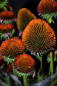 Rudbekia (echincea) flower