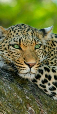 Look at those light green eyes!! All leopards have them!!