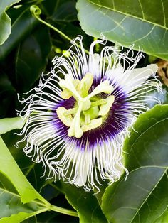 Plant a granadilla - it will soon cover a fence and produce delicious fruits
