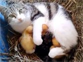 Loving Momma Cat Adopts Abandoned Ducklings - Aww!