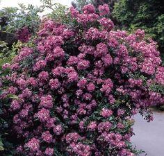 "Ramblerrose ""Veilchenblau"" (Rosa Hybride)"