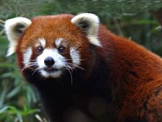 Pangolin Sanctuaries in Assam, India @ Sanctuariesindia.com Wildlife Of India, Wildlife Safari, Chinese Mountains, Toronto Zoo, Most Beautiful Animals, Beautiful Creatures, Red Pictures, Panda Love, Interesting Animals